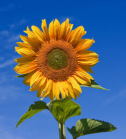 Photo credit: Wikipedia Sunflower