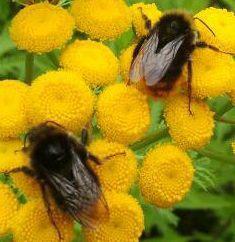Tansy Bees