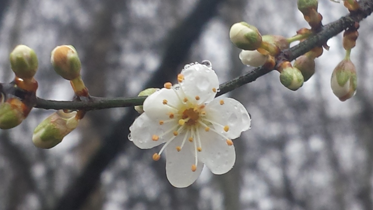 Blackthorn bloom, unusually with 6 petals