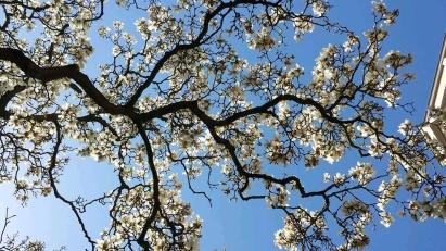 Magnificent Magnolia Urban Herbology