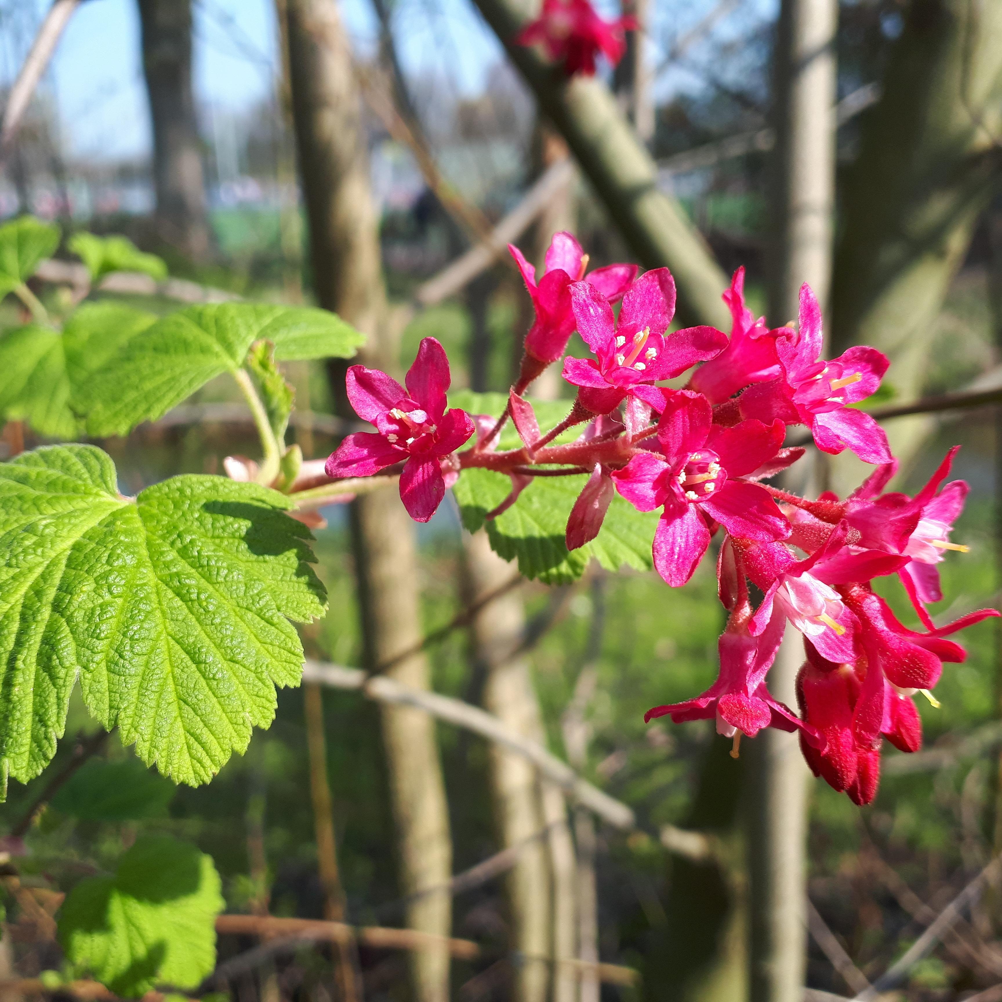 fruit_bush_in_flower_fruit4sport_Amsterdam.jpg