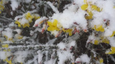winter jasmine in flower, under snow